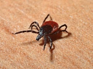 A black-legged tick that could infect people with Lyme disease